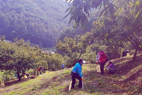 가을 정취 느끼며 농가 일손도 돕는 '알밤 수확 체험'