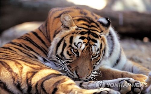 전주동물원 '13살 된 뱅갈호랑이' 폐사…신장기능 저하 원인