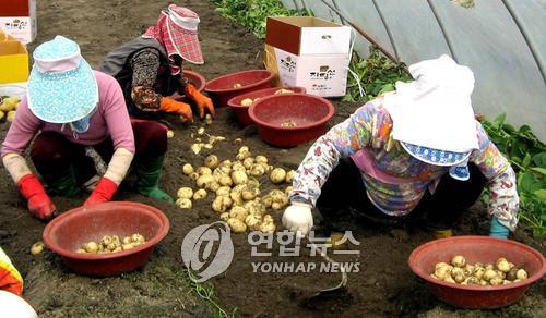 '지평선 햇감자'…김제 광활햇감자축제 내달 16일 개최