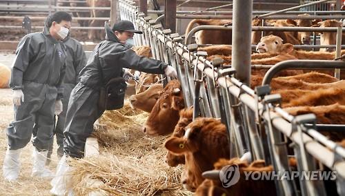 경북도 백신 접종 집중관리…도축 돼지 61% 구제역 항체 형성