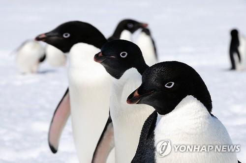 남극 펭귄, 이전 추정치보다 배 이상 많다