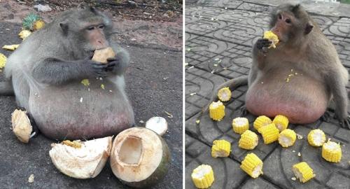 '땅까지 늘어진 배' 방콕의 뚱보 원숭이, 다이어트 돌입