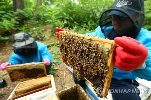 꿀벌 봉독 마스크팩, 중국 대량 수출…양봉산업 새 판로