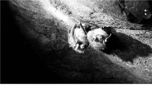 '모기 박멸자' 관코박쥐 지리산에도 산다…서식지 발견