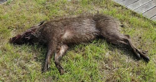 정수장에 침입한 멧돼지 한 마리 사살