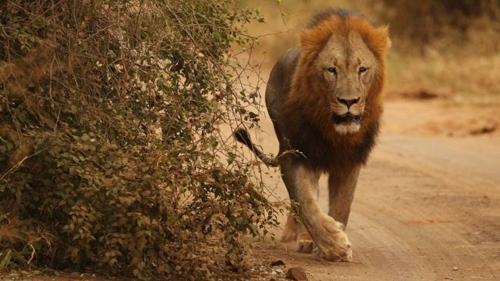 남아공서 수사자 4마리 국립공원 탈출…인근 주민 '비상'