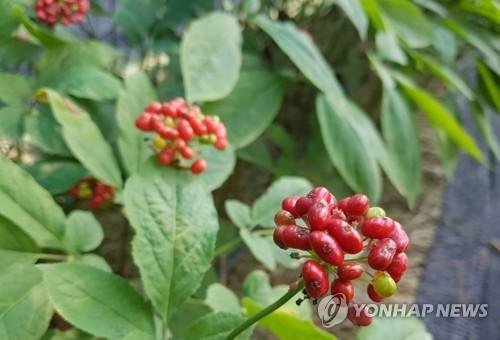 [카메라뉴스] 4년의 기다림…인삼열매 수확