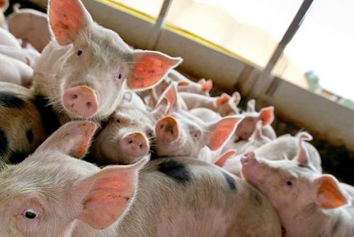러시아, 12월부터 브라질산 쇠고기·돼지고기 수입 잠정 중단