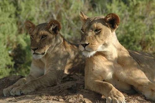 남아공서 밀렵꾼 사자에 잡혀먹혀