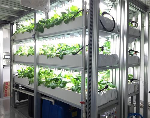 """KIST """"케일 항암 성분 함량 2배 높이는 재배 기술 개발"""""""