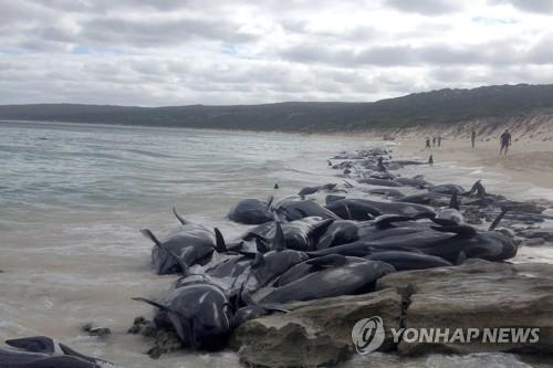 호주 서부 해변 들쇠고래 135마리 떼죽음