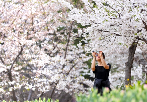 [길따라 멋따라] 붐비지 않는 지하철로 가는 꽃구경 '안산 벚꽃길'