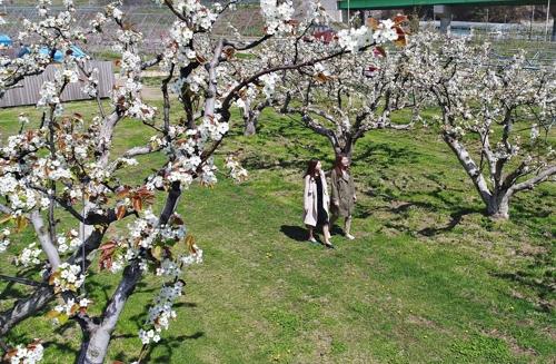100년된 복숭아 꽃 만개…과일 꽃 흐드러진 충북 영동