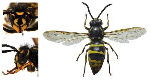국립수목원, 위해 우려 외래곤충 '점박이땅벌' 조사