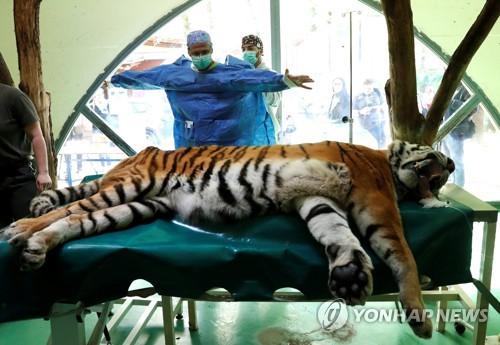 헝가리서 관절염 앓는 시베리아 호랑이 줄기세포 치료