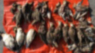 청양 들녘서 천연기념물 독수리 떼죽음