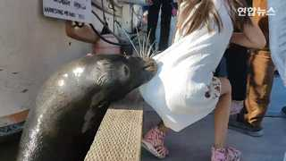 [현장영상] 바다사자의 '습격'…부둣가서 소녀 낚아채