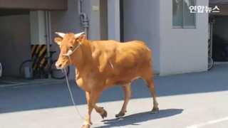 [현장영상] 도축장 가던 소 탈출, 도심 아파트에 출현