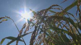 온난화가 몰고올 농작물 '대재앙' 연구 본격화