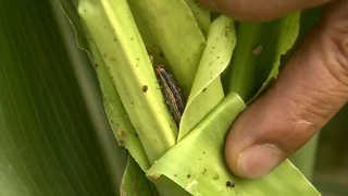 가뭄에 이상고온…멸강나방 등 농작물 병해충 극성