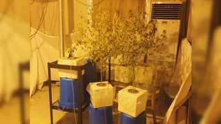 도심에 LED 수경재배 대마초 공장…7억대 판매조직 검거