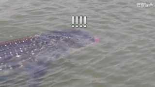 [현장영상] 영덕해안서 멸종위기종 고래상어 발견…바다로 돌려보내
