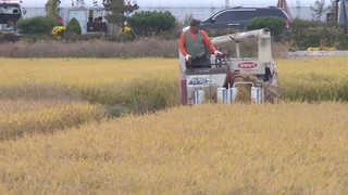 """""""15만원"""" vs """"24만원"""" 풍년이 서글픈 쌀수매가 갈등"""