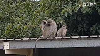 [토픽영상] 새끼 원숭이와 어미의 감동 재회...얼싸안고 어루만지고