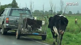 [현장영상] 팔려가는 새끼들과 뒤쫓는 어미…젖소 가족의 눈물