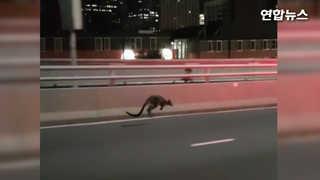 [현장영상] 길 잃은 캥거루…호주 도로 위 껑충껑충