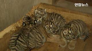 """[현장영상] """"모유로 키워요""""…시베리아 호랑이 다섯 쌍둥이 쑥쑥"""