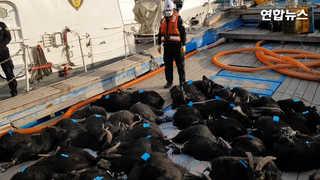 [현장영상] 무인도서 흑염소 57마리 잡아 팔려다 쇠고랑