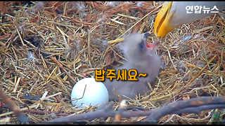 [현장영상] 알 깨고 나오는 아기 대머리독수리…경이로운 부화 순간 포착