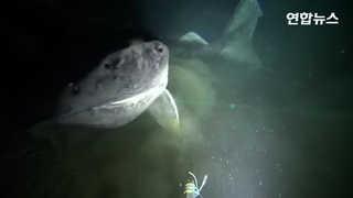 [현장영상] 임진왜란때 태어났을까…최대수명 500년 '그린란드 상어' 포..