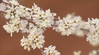봄의 전령 '미선나무' 꽃 활짝…30일 괴산서 축제