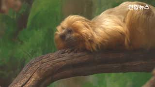 [현장영상] 멸종위기 처했던 황금사자타마린 원숭이…예루살렘서 태어나