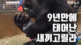 """[현장영상] """"아가야 뽀뽀, 쪽""""…새끼 고릴라 탄생 순간 공개"""