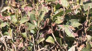 생기 잃고 말라버린 녹차밭…수확 포기 농가 속출