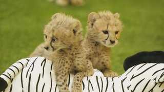 에버랜드 동물원서 '멸종위기' 치타ㆍ기린 번식 성공