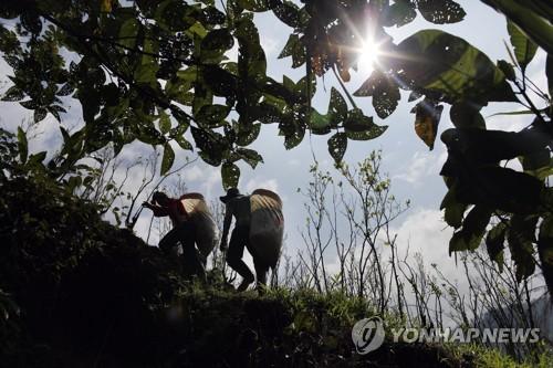 작년 콜롬비아 코카 잎 재배 52% 증가…20년래 최대 증가율