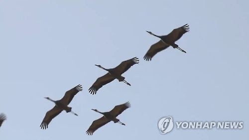 한강하구 일대 찾는 천연기념물 '두루미'…1년 새 2배↑