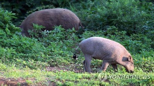 인천 도심에 야생 멧돼지 1마리 출현…마취총 쏴 포획