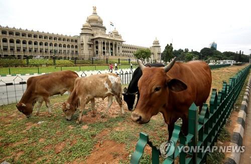 인도 대법원, 소 도축 규제명령 효력중지…'소 과잉보호' 제동
