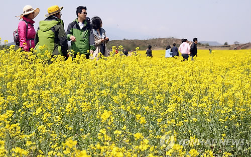 '노란 제주의 봄' 제35회 유채꽃축제 내달 1일 개막