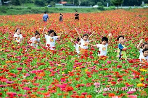 [주말 N 여행] 강원권: 평창 백일홍·정선 메밀꽃 '만발'