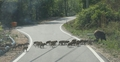 Baby boars crossing road