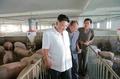 N.K. leader visits pig farm