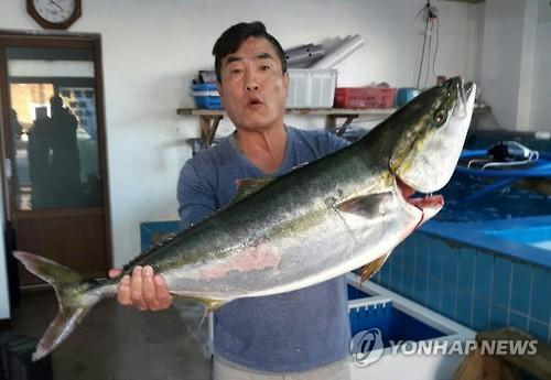 '겨울철 별미' 제주 방어ㆍ부시리 풍어의 반전…가격 폭락