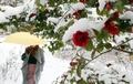 Fleurs de camélia sous la neige