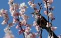Un oiseau sur un cerisier
